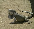 Iguana chilling by the car (7157461039).jpg