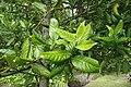 Ilex perado subsp. perado kz02.jpg