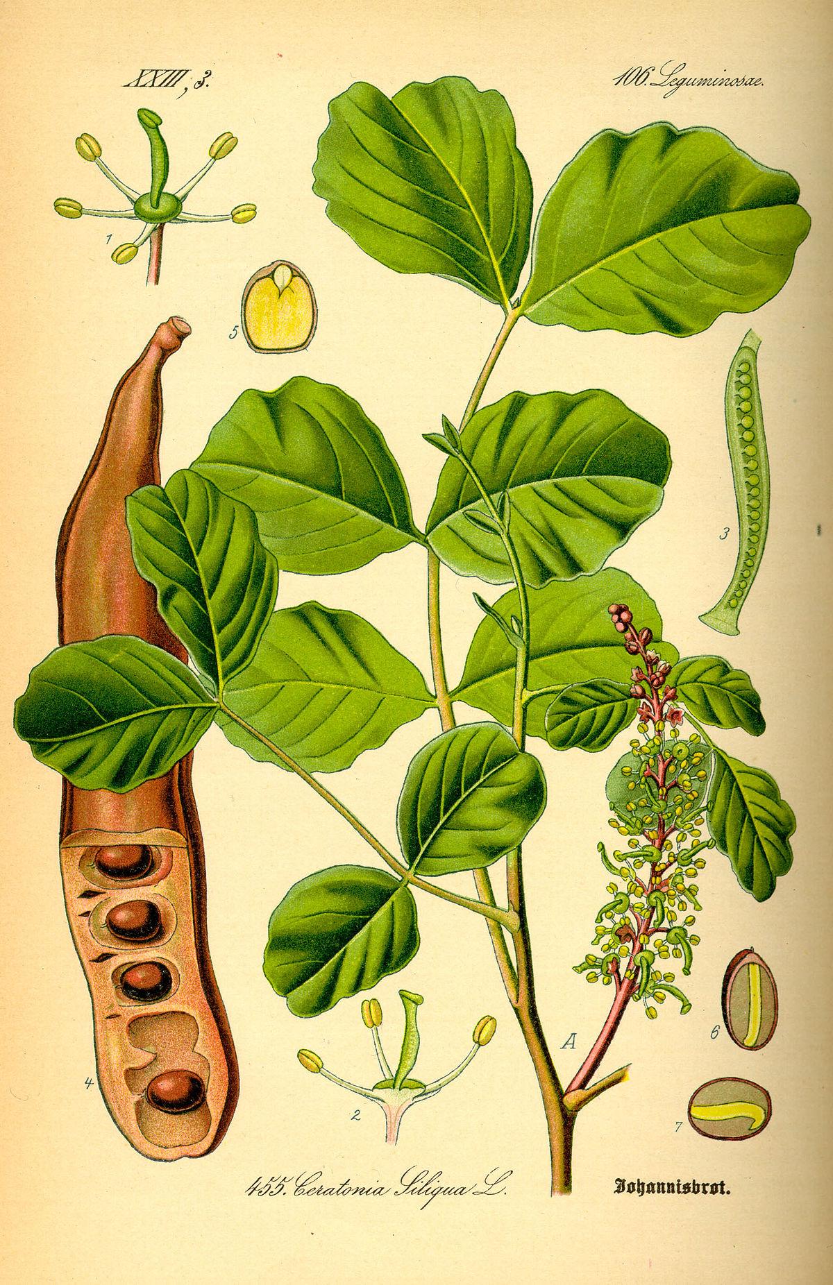 Ceratonia siliqua wikipedia izmirmasajfo Image collections