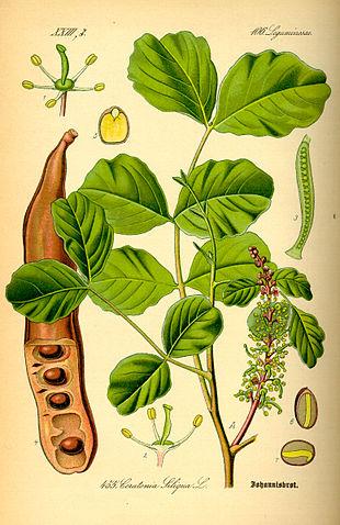 Illustration of components of the carob tree (<em>Ceratonia siliqua</em>).