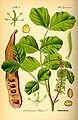 Illustration Ceratonia siliqua0.jpg