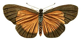Illustrations of Exotic Entomology Acraea Umbra.jpg