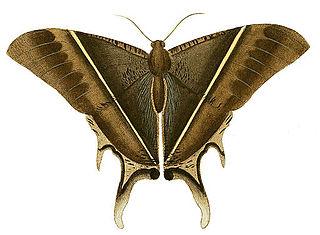 <i>Lyssa patroclus</i> species of insect