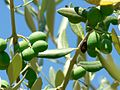 Immature green olives.jpg