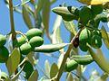 Immature green olives.jpg