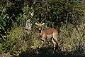 Impala, Ruaha National Park (11) (28637848052).jpg