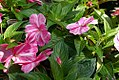Impatiens x hybrida Sonic Magic Pink 1zz.jpg