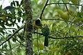 Inca Jay (Cyanocorax yncas), Cabañas San Isidro, Ecuador 2015-06-12 (2) (40328160761).jpg