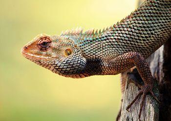 Indian Garden Lizard.jpg