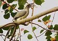 Indian hornbill grey.jpg
