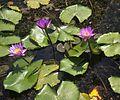 Indian lotus.jpg