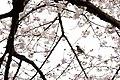 Inokashira Park 2009-04-05 (3446863302).jpg