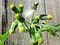 Involucre Senecio vulgaris.jpg