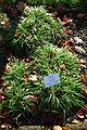 Ipheion uniflorum - Botanischer Garten Braunschweig - Braunschweig, Germany - DSC04390.JPG
