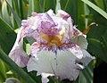 Iris Autumn Joy 3zz.jpg