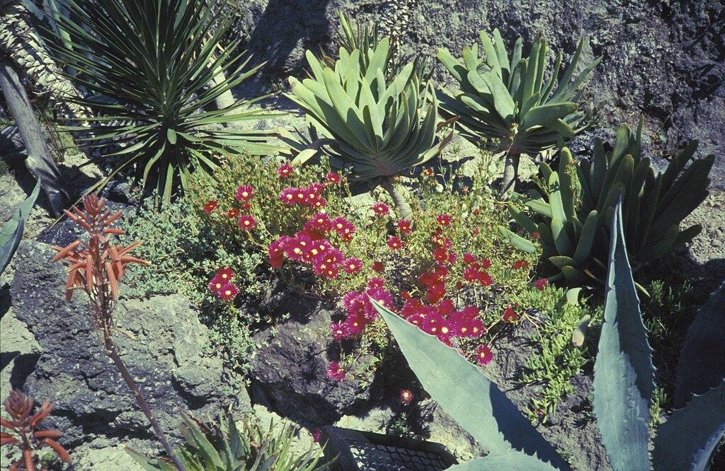 Plantes grasses et cactus sur l'île d'Ischia près de Naples en 1987 - Photo de H. Grobe