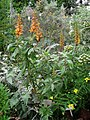 Isoplexis canariensis - Berlin Botanical Garden - IMG 8784.JPG