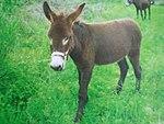 Istarski magarac.jpg