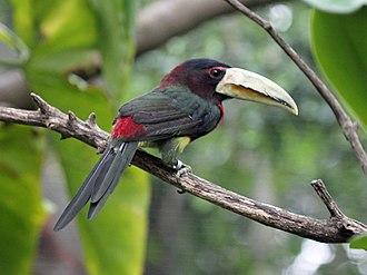 Aracari - Image: Ivory billed Aracari RWD2