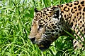 Jaguar (Panthera onca) male on the riverbank ... - Flickr - berniedup.jpg