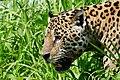 Jaguar (Panthera onca) male on the riverbank ... - Flickr - berniedup.jpg