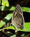 Jamides celeno – Common Cerulean 07.JPG