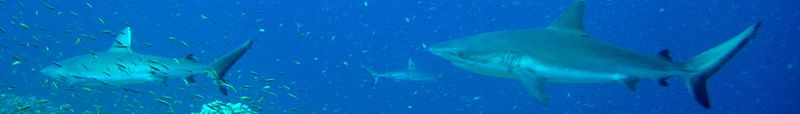 Gray reef sharks over reef near Jarvis Island.