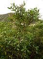 Jasminum odoratissimum kz1.JPG