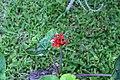 Jatropha podagrica 17zz.jpg