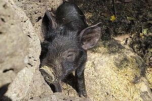 Jeju Black pig - A Jeju Black piglet