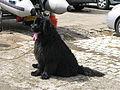 Jielbeaumadier chien terre-neuve la rochelle 2009.jpeg