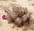 Joshua Tree National Park - Hedgehog Cactus (Echinocereus engelmannii) - 18.JPG