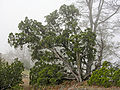Juniperus californica Mount Diablo.jpg