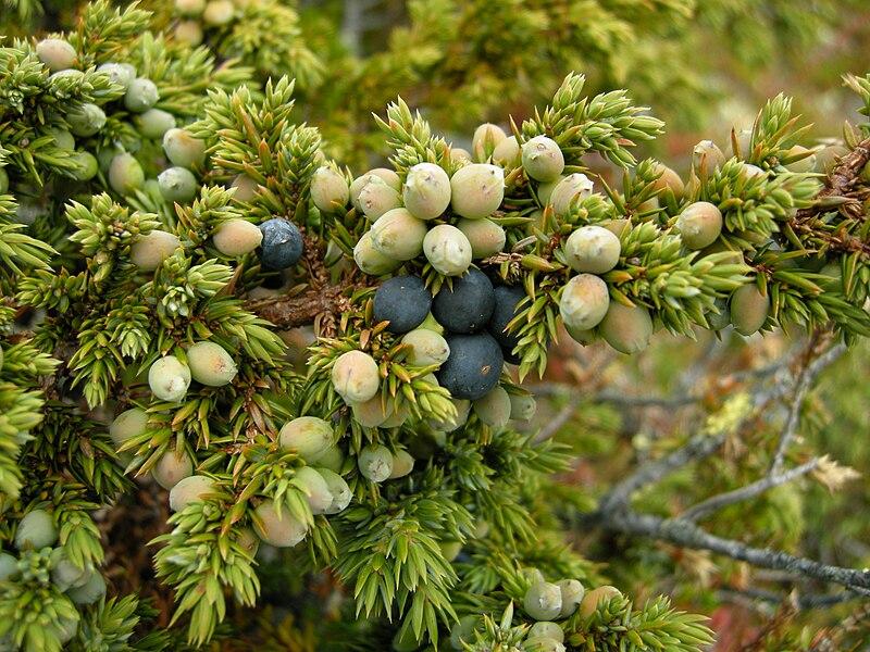 File:Juniperus communis ssp alpina.JPG