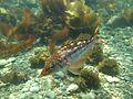 Juvenile Kelp Bass (14339634817).jpg