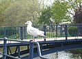Juvenile herring gull on railings by the Royal Military Canal - geograph.org.uk - 1258479.jpg