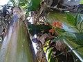 K.Pudur Village Firecracker Flower and banana trees.jpg