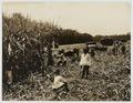 KITLV - 18279 - Kurkdjian - Soerabaja - Cutting garden of the sugar estate Ketanen near Mojokerto (Kota Mojokerto) - 1916-04.tif