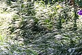 Kaempferia rotunda 1zz.jpg