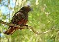 Kaka perched on a branch.jpg
