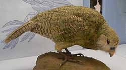 Thousands of Kakapo were collected for museums across the world.