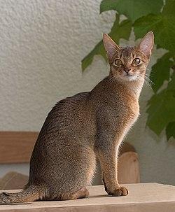 Первого абиссинского кота звали Зула.