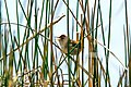 "Kamloops…on the McQueen Lk ""O"" map…Marsh wren at Lac Du Bois (8883598560).jpg"