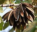 Kanak Champa (Pterospermum acerifolium) in Hyderabad W IMG 7125.jpg