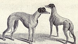 Kangaroo Greyhound from 1915.JPG