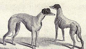 Deux Lévriers australiens en 1915  (W.E. Mason - Dogs of all Nations)