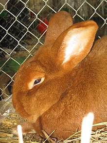 New Zealand rabbit - Wikipedia
