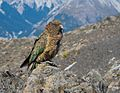 Kea, near Arthur's Pass, South Island, New Zealand.jpg