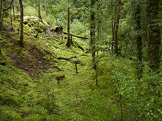 Fiordland National Park - Understory with shrubs, ferns and mosses
