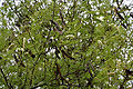 Khair (Acacia catechu) leaves & fruits at Hyderabad, AP W IMG 7263.jpg